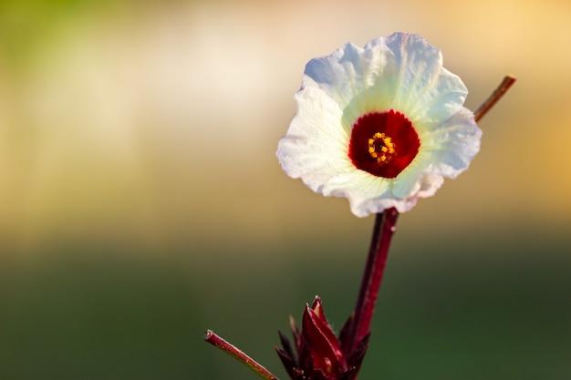 Rote okra der nahaufnahme blüht und gelbes sonnenlicht des blütenstaubs morgens.