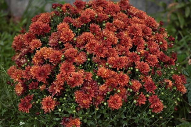 Rote orange koreanische chrysantheme.