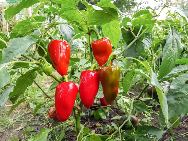 Rote paprika im gemüsegarten