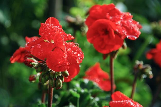 Rote pelargonienblumen mit wassertropfen im sommergarten