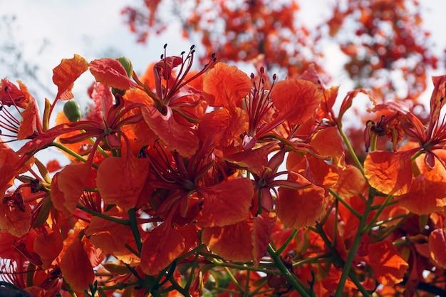 Rote pfauenblumen oder caesalpinia pulcherrima-blumen, die in hellen farben blühen