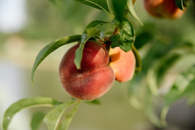 Rote pfirsiche auf einem ast