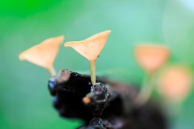 Rote pilze, pink burn cup pilz, tarzetta rosea (rea) dennis, pustuluria rosea rea