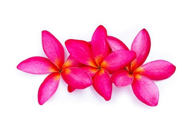 Rote plumeria oder frangipani-blume auf blauem hintergrund. draufsicht