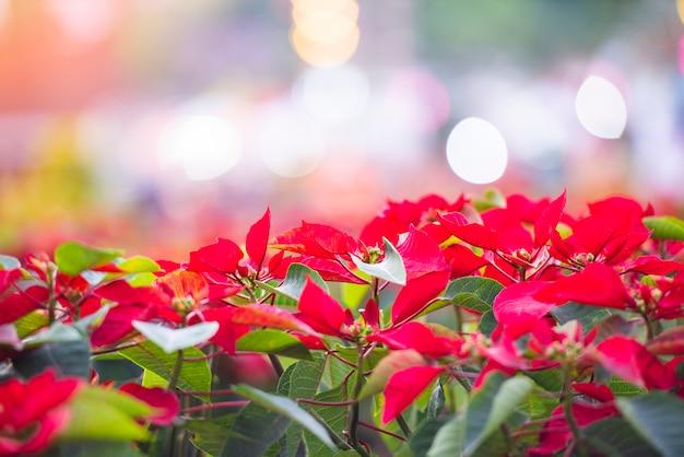 Rote poinsettia im garten mit heller bokeh feier - poinsettia-weihnachtstraditionelle blumendekorationen frohe weihnachten