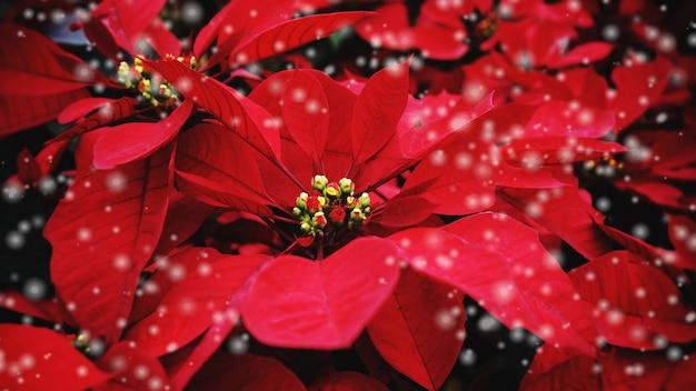 Rote poinsettia im garten mit schwarzem - poinsettia-weihnachtstraditionelle blume mit schneedekorationen frohe weihnachten