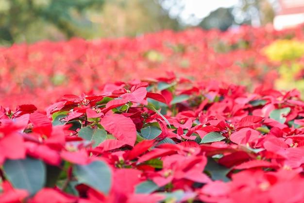 Rote poinsettia in der gartenfeier - poinsettia-weihnachtstraditionelle blumendekorationen frohe weihnachten