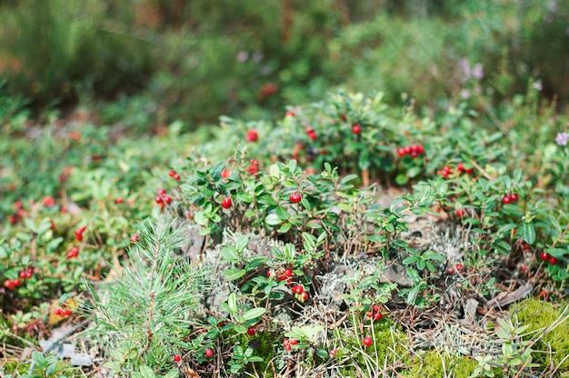 Rote preiselbeerpreiselbeeren wachsen im moos im wald