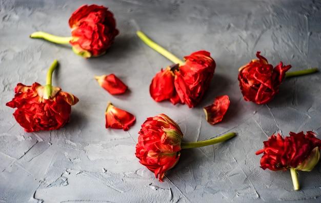 Rote prinzessin tulpe