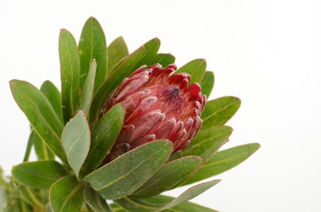 Rote proteablume auf einem weißen getrennten backgroud