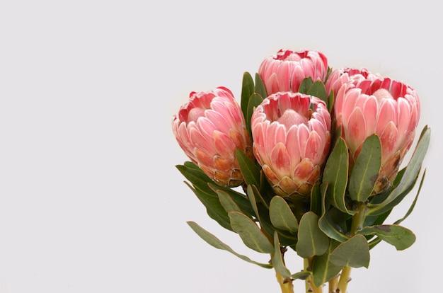 Rote proteablume getrennt auf einem weißen hintergrund