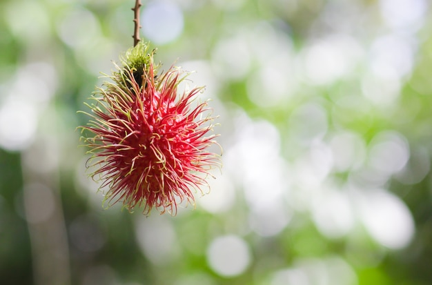 Rote rambutans auf dem rambutan-baum