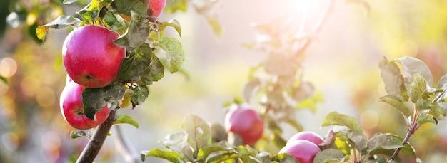 Rote reife äpfel im garten auf einem baum bei sonnigem wetter, panorama