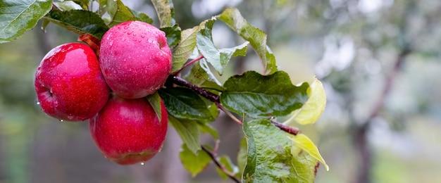 Rote reife äpfel mit regentropfen im garten auf einem baum, panorama