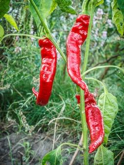 Rote reife chilischoten auf dem gartenbett mit unscharfem natürlichen hintergrund. bio-lebensmittel aus eigenem anbau, paprika oder paprika, die im sommergarten reifen.