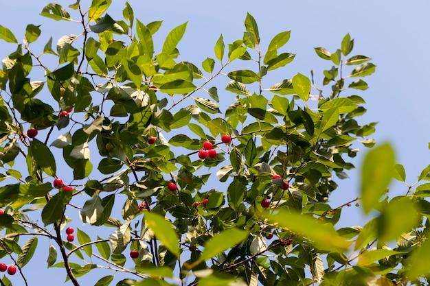 Rote reife kirsche auf den zweigen eines kirschfruchtbaums