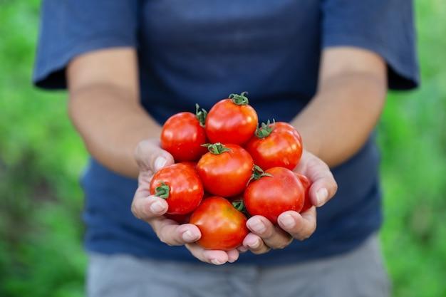 Rote reife tomaten vom garten in den händen des bauern
