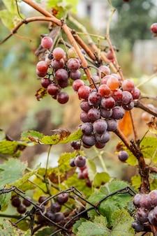 Rote reife trauben im weinberg im sommer. geringe schärfentiefe.