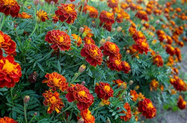 Rote ringelblume oder ringelblume blüht und lässt hintergrundmuster im garten. nahaufnahme von ringelblumenblüten. blumen ringelblumen hintergrundmuster.