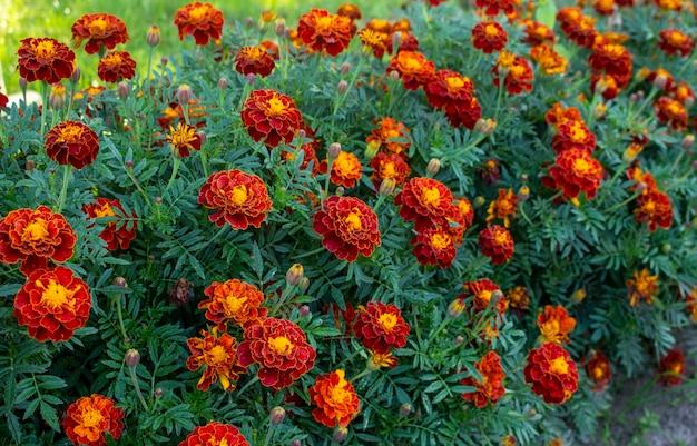 Rote ringelblume oder ringelblume blüht und lässt hintergrundmuster im garten. nahaufnahme von ringelblumenblüten.