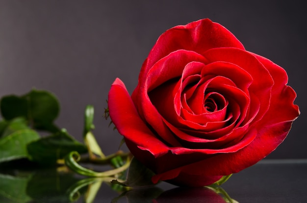 Rote rose auf dunklem hintergrund
