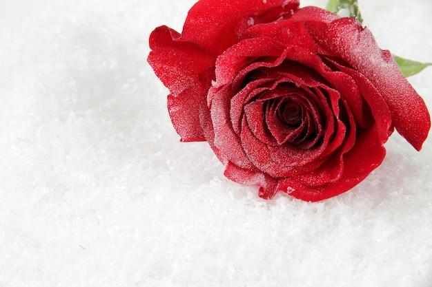 Rote rose auf schnee