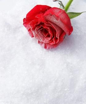 Rote rose auf schneehintergrund