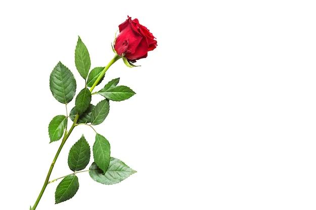 Rote rose auf weißem hintergrund mit copyspace, isoliert.