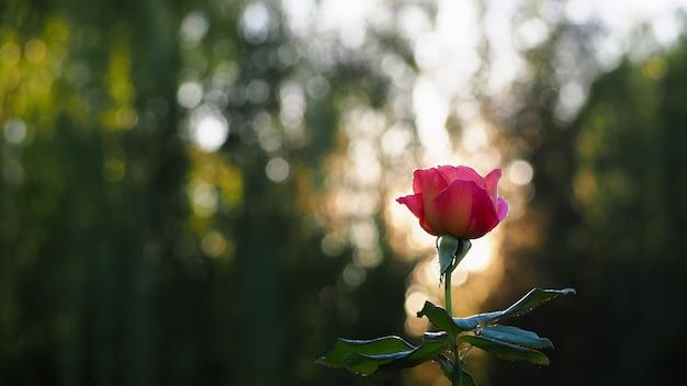 Rote rose das licht zum schönen hellen hintergrund verwischt.