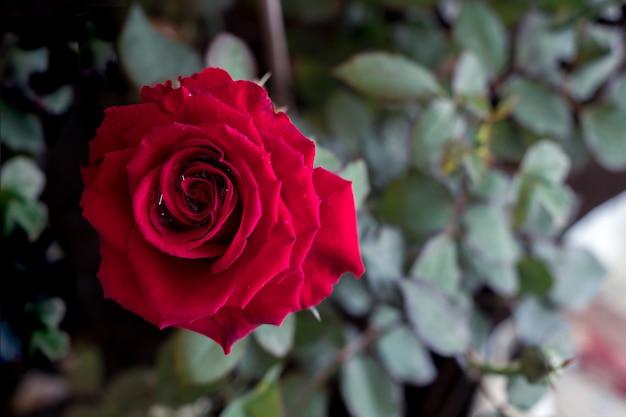 Rote rose das symbol der liebe und des valentinsgrußes