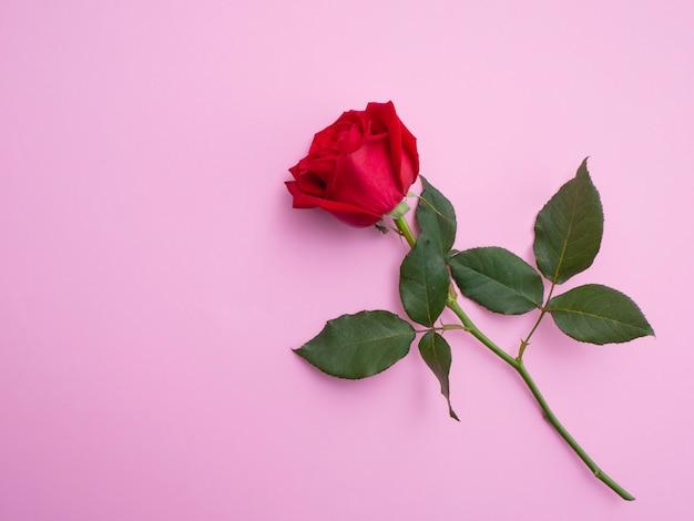 Rote rose getrennt auf rosafarbenem hintergrund.