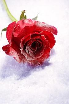 Rote rose im eis auf schneehintergrund