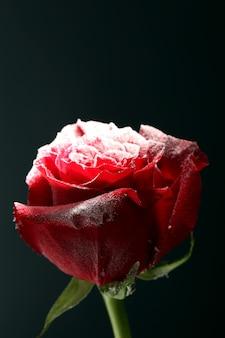 Rote rose im eis, isoliert auf schwarz