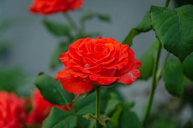 Rote rose im garten an einem sonnigen sommertag