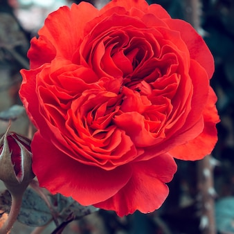 Rote rose im park. pflanzenliebhaber-konzept. minimal