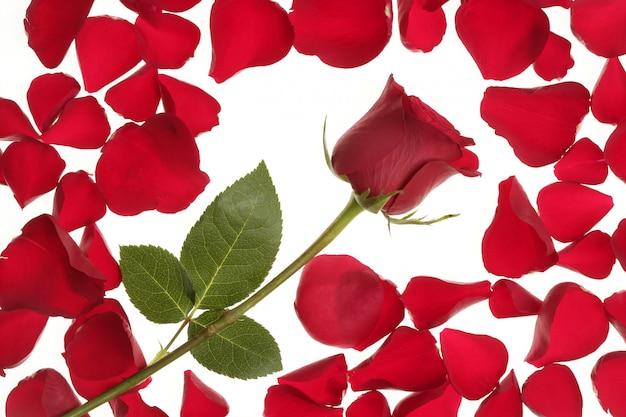 Rote rose in einem blumenblattrandfeld