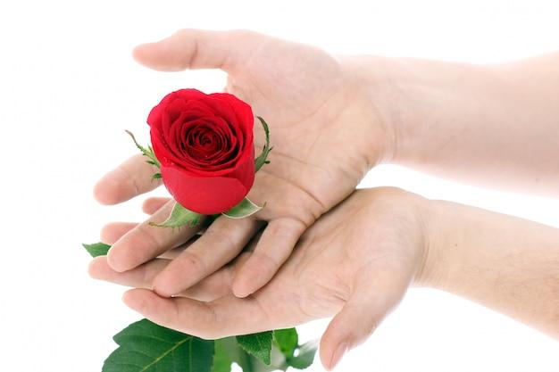 Rote rose in händen