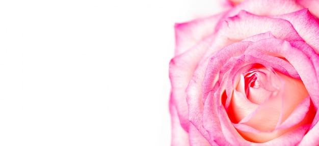 Rote rose lokalisiert auf weißem hintergrund