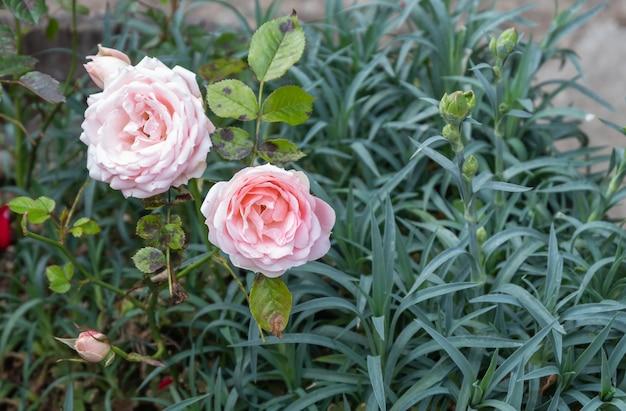 Rote rose mit losen blütenblättern isoliert