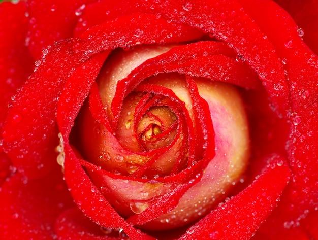 Rote rose mit tautropfen