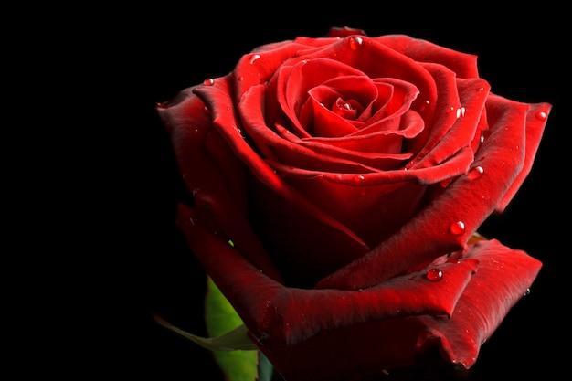 Rote rose mit wassertropfen auf schwarz