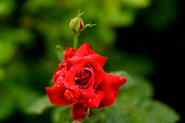 Rote rose mit wassertropfen