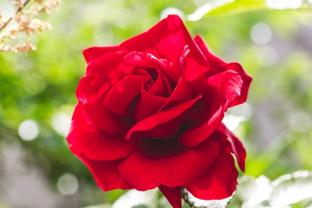 Rote rose nahaufnahme mit dem bokeh bei sonnigem wetter