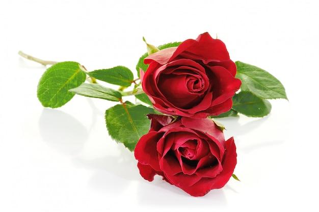 Rote rosen auf weiß
