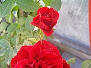 Rote rosen, blumen, gefühle