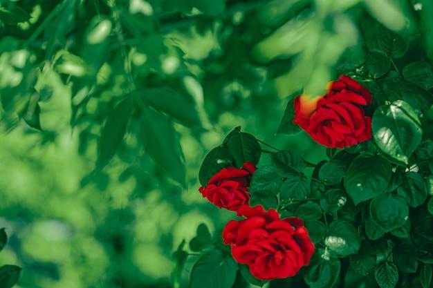 Rote rosen im schönen blumengarten als blumenhintergrund