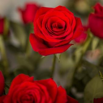 Rote rosen mit unscharfem hintergrund