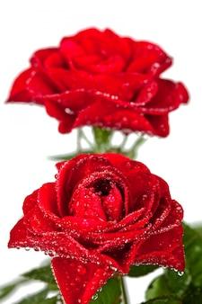 Rote rosen mit wassertropfen