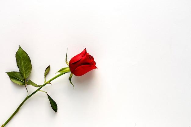 Rote rosen mit weißem hintergrund