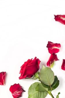 Rote rosen und rosenblätter lokalisiert auf weiß mit kopienraum